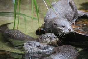 Three otters together by Izzys-Photo-Corner