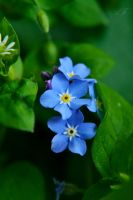 Forget Me Not no More by AdrianaFilip
