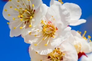 apricot blossoms 1 by ishouldplayzelda