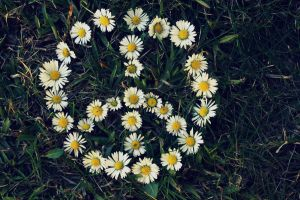 Peace from Daisies. by deeeandra