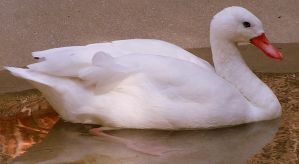 White Duck by PaganFireSnake