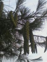 Pine cones by A7XFan666