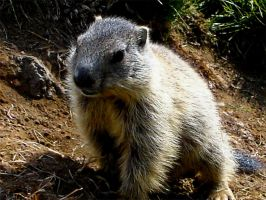 MARMOT by altergromit