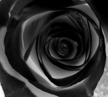black rose by Superheroesdeath