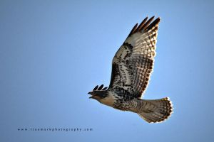 Hawk 02 by andras120