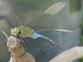 Dragonfly Stock 3 by stormymay888