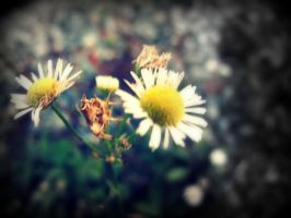 Daisies by wolfycatlover38