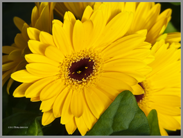 Yellow Gerberas by Mogrianne