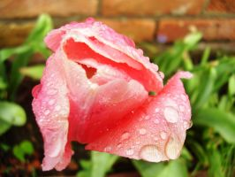 Tulip Dew by Pentacle5