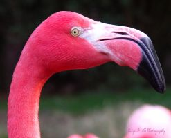 Pink Flamingo by PaigeMills