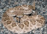 Crotalus atrox by michael-ray