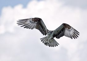 Osprey 6 by rdswords