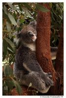 Smiling Koala II by TVD-Photography