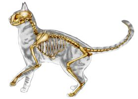 Cat Skeletal Anatomy by JacquelineRae