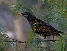 Starling by barcon53