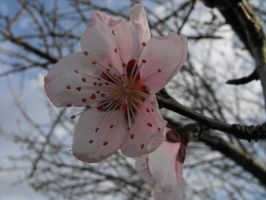 Peach Blossoms ver.3 by XiaAmane