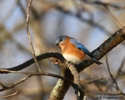 Early morning Bluebird by natureguy