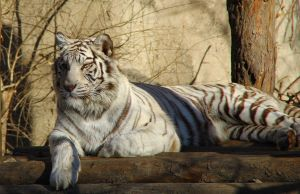 White tiger by rainman65