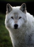 A WOLF LOOK by Yair-Leibovich