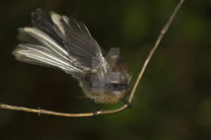 New Zealand Fantail by carterr