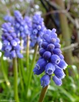 Grape Hyacinth... by AlfiBOh