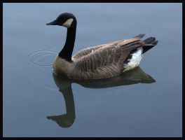 goose over goose by photom17