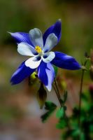 Colorado Columbine by Hobgoblin666