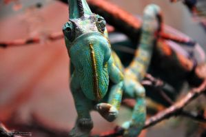 Veiled Chameleon by Chaotic-Chelly