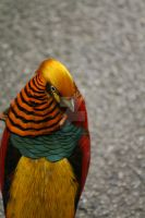 Chinese golden pheasant II by Gothic-Enchantress