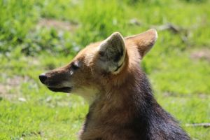 Maned Wolf by lucky128stocks