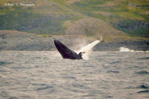 Humpback whale breaching by TheLittleMaja