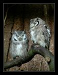 White-faced Scops Owls.... by Pjharps