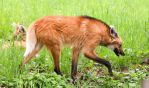 Maned Wolf Stock 6 by HOTNStock