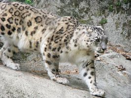 Snow Leopard Stock 5 by HOTNStock