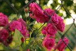 pink garden roses by panna-poziomka