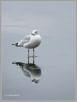 Gull Standing on a Winter Mirror by Mogrianne