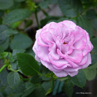 Two tone rose by Mogrianne
