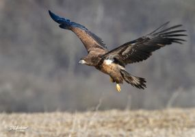 One more eagle and carcass by DGAnder