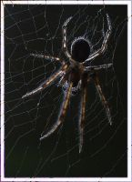 the creepy glass spider II by webcruiser