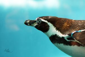 Penguin by EliseJ-Photographie