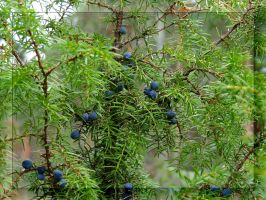 Gin berries... by Yancis