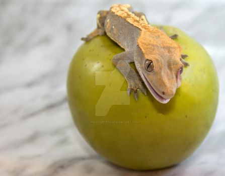 Latest Addition - O-Harlequin Crested Gecko - 5079 by creative1978