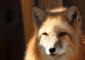 Fox in the Sun by Jack-13
