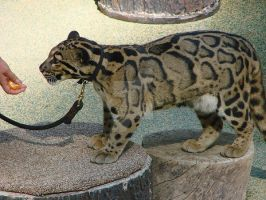 Kilat - clouded leopard by violent-obsession