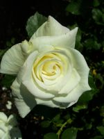 White rose by Ronron84