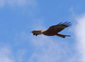 Red Kite by Track-Maidens