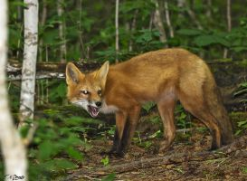 My beautiful wild fox friend Ginger 11 by Nini1965