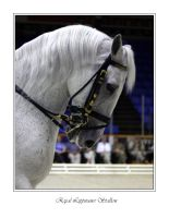 Royal Lippizaner Stallion by WindCrest