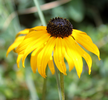 Rudbeckia by S4MMY4RT