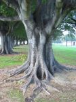 Mortan Bay Fig by kayne-stock